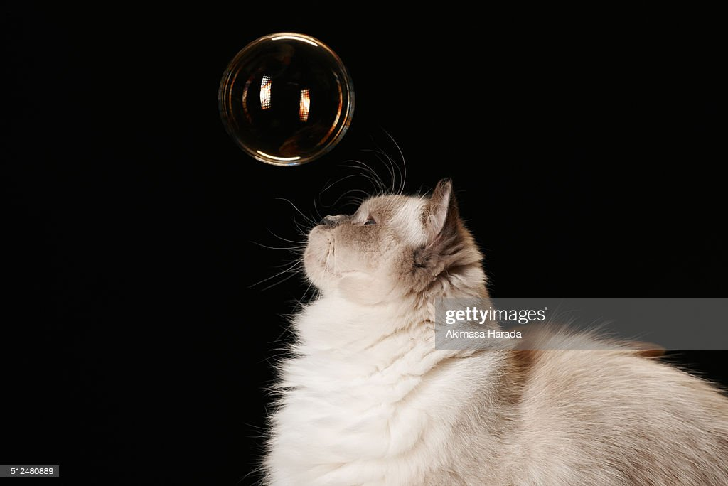 a white ragdoll cat looks up at the soap bubble.