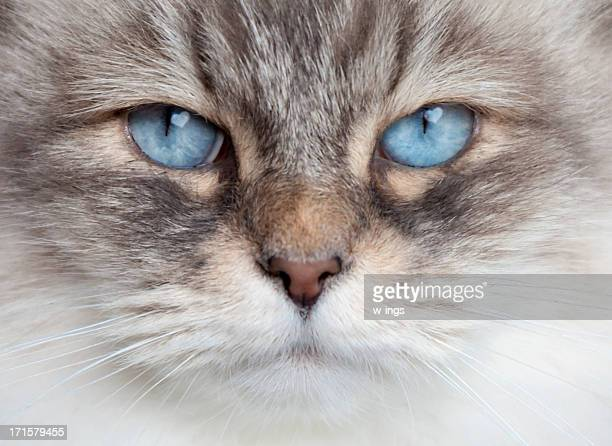 cat love - norwegian forest cat stock photos and pictures