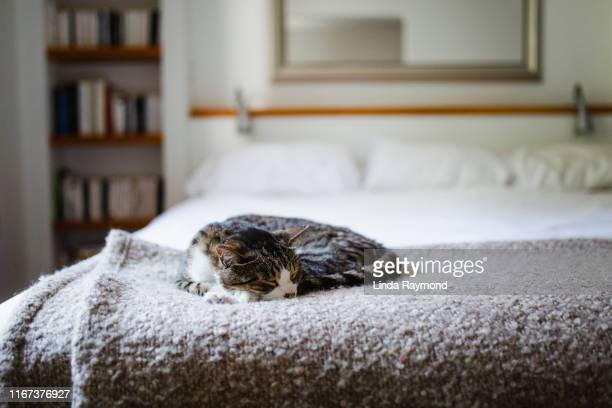 cat lying down on a bed - bedroom stock pictures, royalty-free photos & images