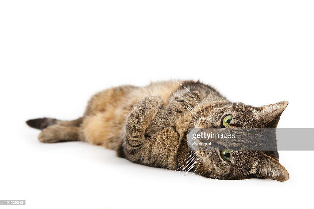 Cat lying down : Stock Photo