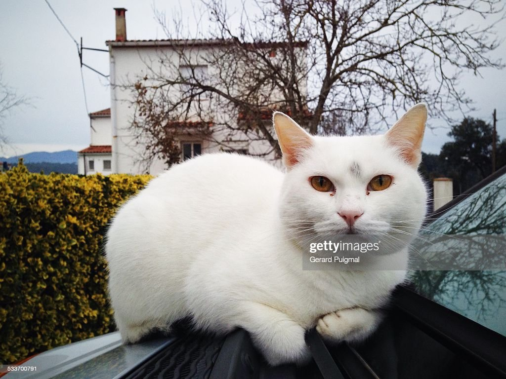 Cat lying on a car hood : Foto stock
