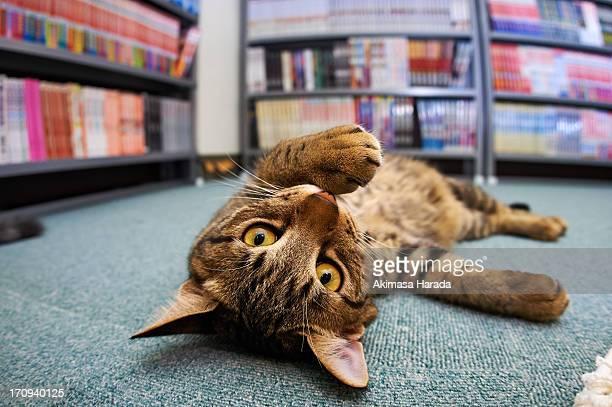 cat lying on blue carpet - トラ猫 ストックフォトと画像