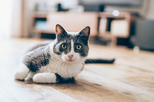 Cat lying on parquet floor 1136878898