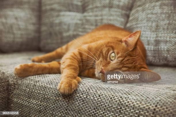 chat allongé sur un canapé - chat roux photos et images de collection