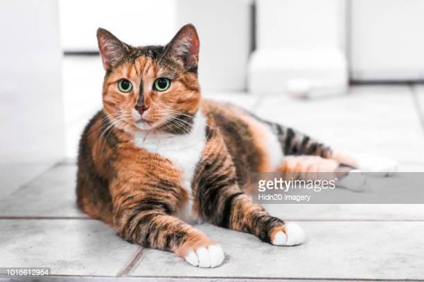 cat lying - groene ogen stockfoto's en -beelden