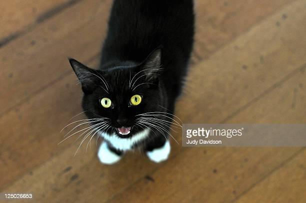 Cat meowing on wooden floor