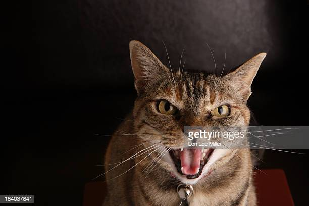 cat meowing - lori lee stock pictures, royalty-free photos & images