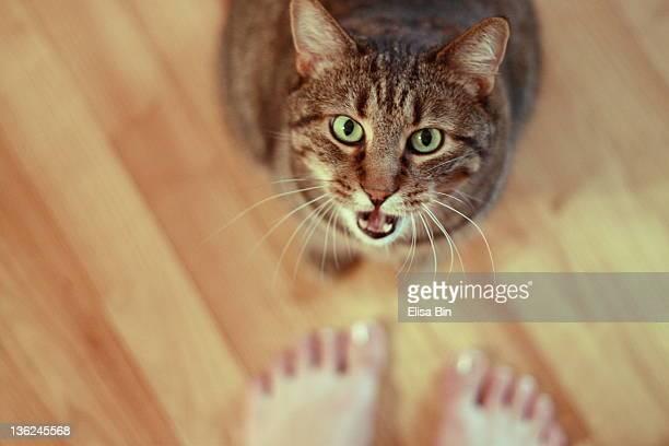 Cat mewing
