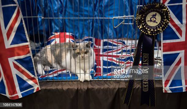 A cat named 'Crystal Flame's Koala Koko' rests in its pen after being judged in the 'British Blue Lilac or Fawn Tortie White Kitten' class at the...