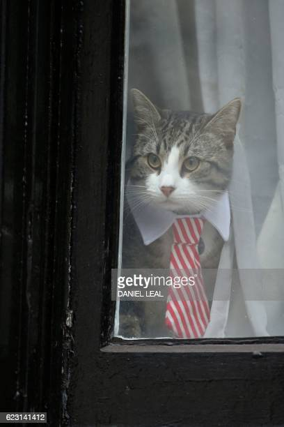 Cat named 'James' wearing a collar and tie looks out of the window of the Ecuadorian Embassy in London on November 14, 2016 where WikiLeaks founder...