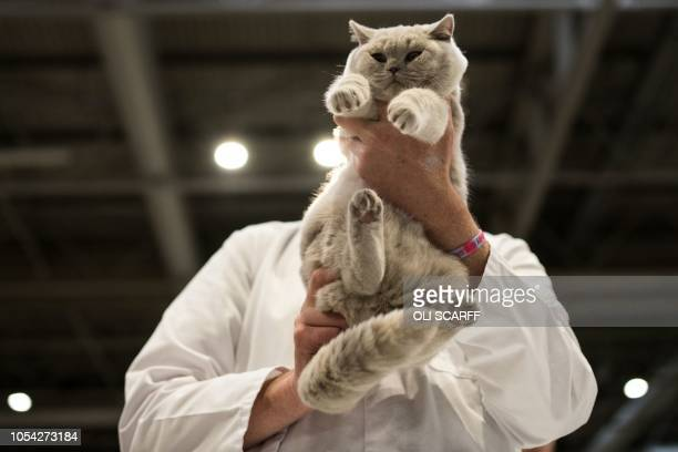A cat named 'Kolinga Pink Cadillac' is judged in the 'British Lilac Kitten Male' class at the 42nd 'Supreme Cat Show' organised by the Governing...