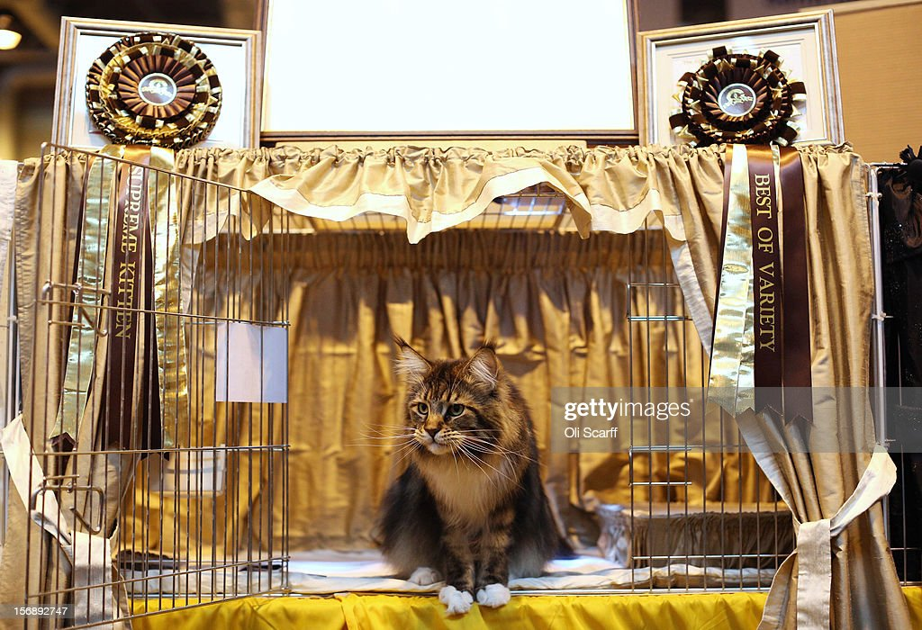 Owners And Their Pets Gather For The Annual Supreme Cat Show : News Photo
