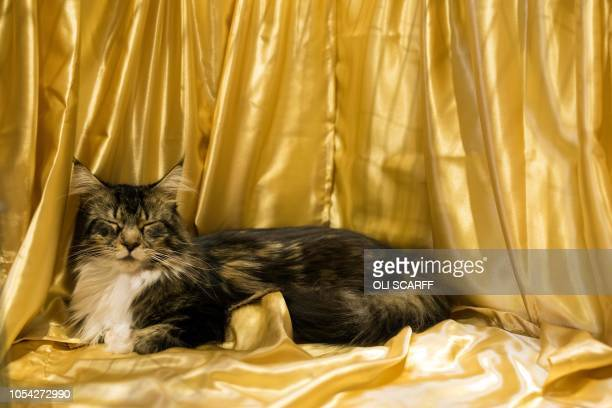 A cat named 'Rutterkin Wilbury' rests in his pen after being judged in the 'Brown of Blue Tabby/Tabby White Maine Coon Neuter' class at the 42nd...