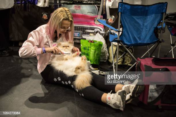 A cat named 'Sovon Starman's Starboy' is groomed before being judged in the 'Self Colourpoint Persian Neuter' class at the 42nd 'Supreme Cat Show'...