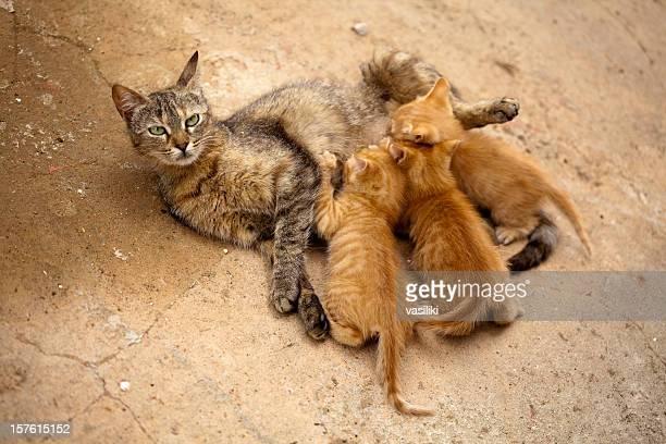 Gatti gattini allattamento