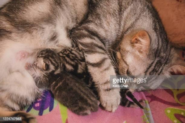 cat nursing newborn kitten - gattini appena nati foto e immagini stock