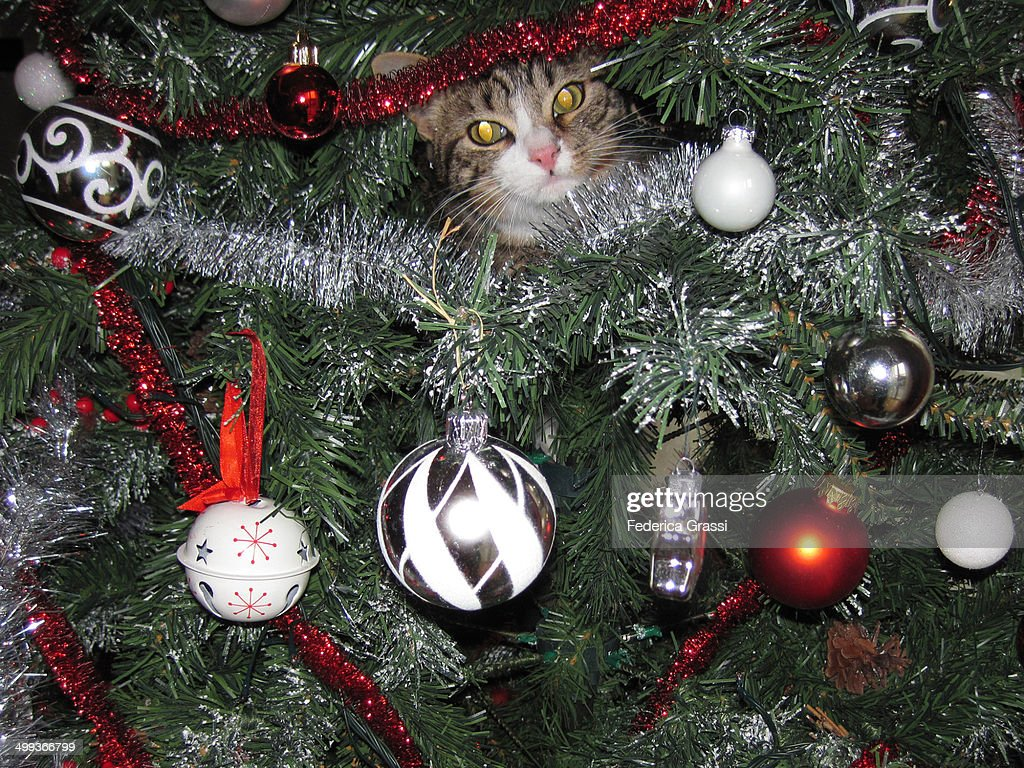 A cat on a Christmas Tree! : Stock Photo
