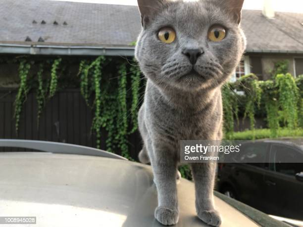 Cat on a hot tin roof (of a car)