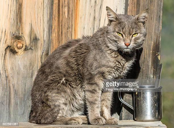 cat on alert, pisang, annapurna circuit, nepal - annapurna circuit stock photos and pictures