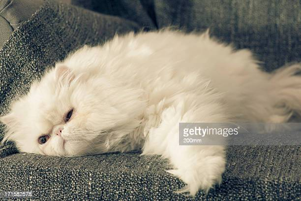 cat on armchair - persian stock photos and pictures