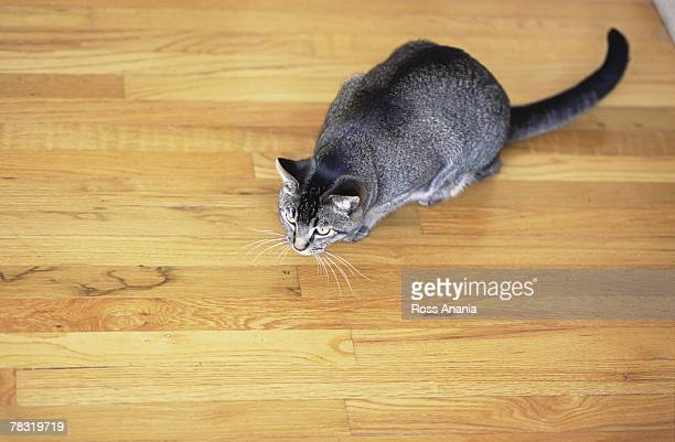 Cat on hardwood floor