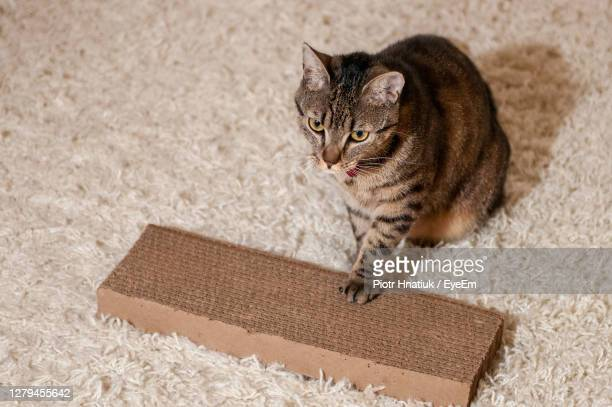 cat on rug at home - piotr hnatiuk stock pictures, royalty-free photos & images