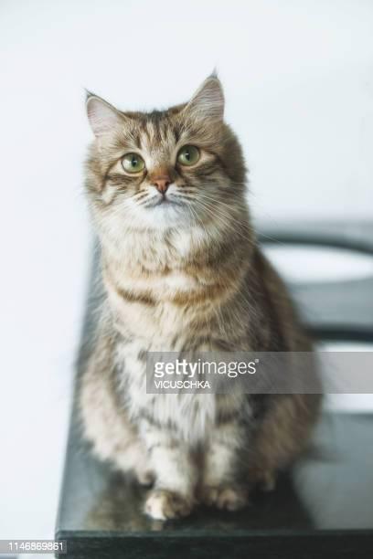 cat on table - grossesse humour photos et images de collection