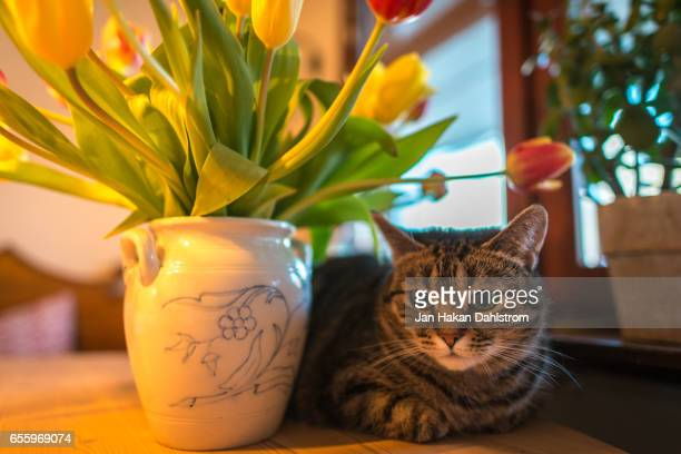 Cat on table with tulips in vase