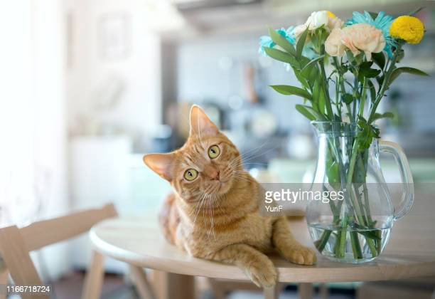 cat on the kitchen table - mammal stock pictures, royalty-free photos & images