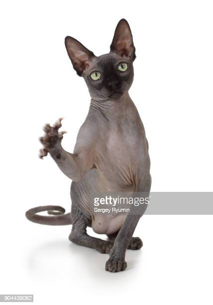 cat on three legs. - sphynx hairless cat stock photos and pictures