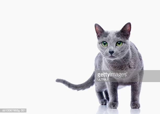cat (russian blue) on white background - russian blue cat stock pictures, royalty-free photos & images