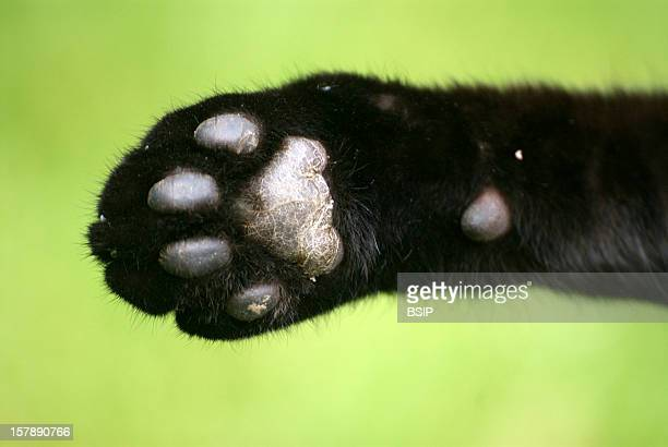 Cat Paw CloseUp On A Domestic Cat'S PawDomestic Cat European Catcolor Blackfelis Silvestris Domestic Cat