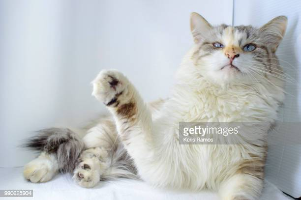 cat paws, white cat with queen crown in undefined background, ear and muzzle (very old cats). Because they are blends, SRD cats can have different colors and skin types, sizes, shapes and appearance. July 2, 2018 in Brazil. Because they are blends, SRD ca