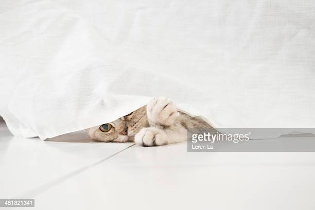 Cat peeping underneath tablecloth