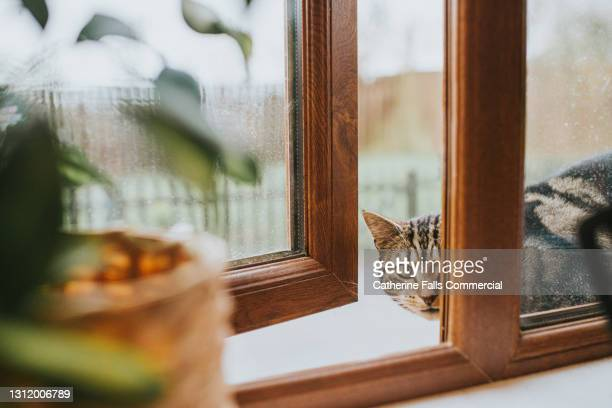 cat peering through a window - domestic cat stock pictures, royalty-free photos & images