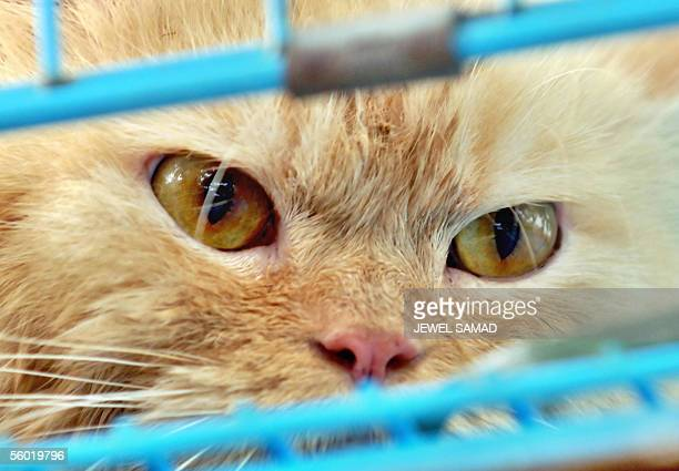 A cat peers from its cage at a roadside pet stall in Jakarta 27 October 2005 Indonesia's human bird flu outbreak is puzzling experts because several...