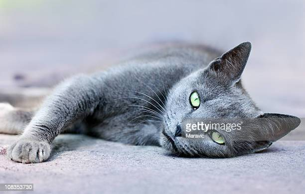 cat - burmese cat stock pictures, royalty-free photos & images