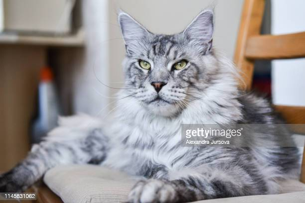 cat - maine coon cat stock pictures, royalty-free photos & images