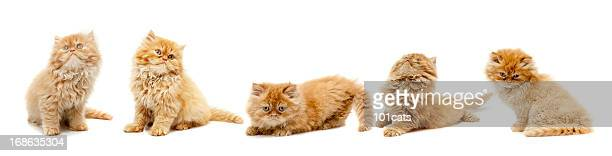 cat - persian cat stock pictures, royalty-free photos & images