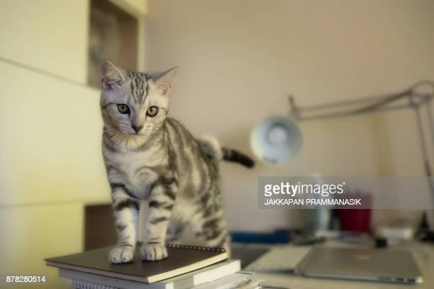 cat - ショートヘア ストックフォトと画像