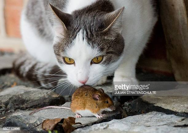 Cat plays with a mouse on a farmyard in Sehnde near Hanover, central Germany on December 20, 2014. The minute-long cat-and-mouse game was fatal for...