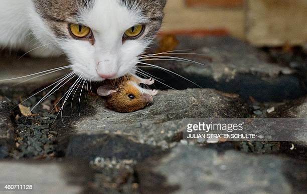 A cat plays with a mouse on a farmyard in Sehnde near Hanover central Germany on December 20 2014 The minutelong catandmouse game was fatal for the...