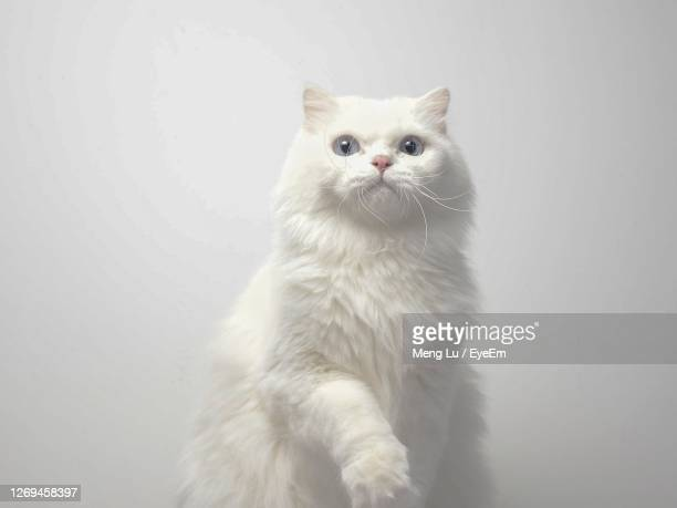 cat portrait - persian cat stock pictures, royalty-free photos & images
