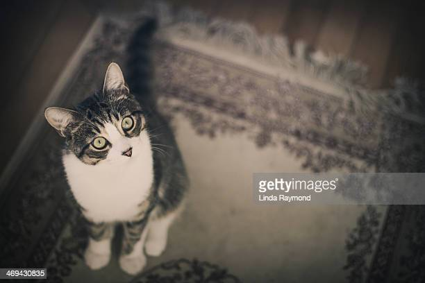 cat portrait - linda wilton stock pictures, royalty-free photos & images