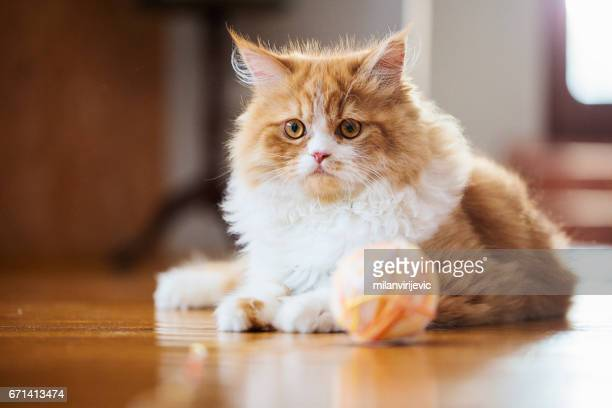 cat posing - hairy balls stock photos and pictures