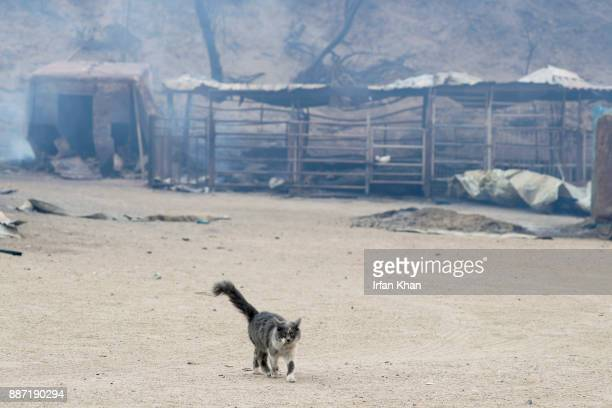 A cat prowls Padilla Ranch on Little Tujunga Road where 29 horses perished in Creek Fire yesterday on December 6 2017 in Sylmar California
