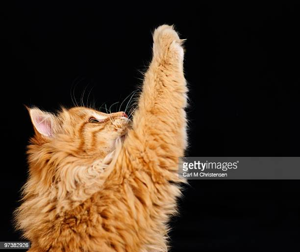 cat raising paw in answer to question on black - paw stock pictures, royalty-free photos & images