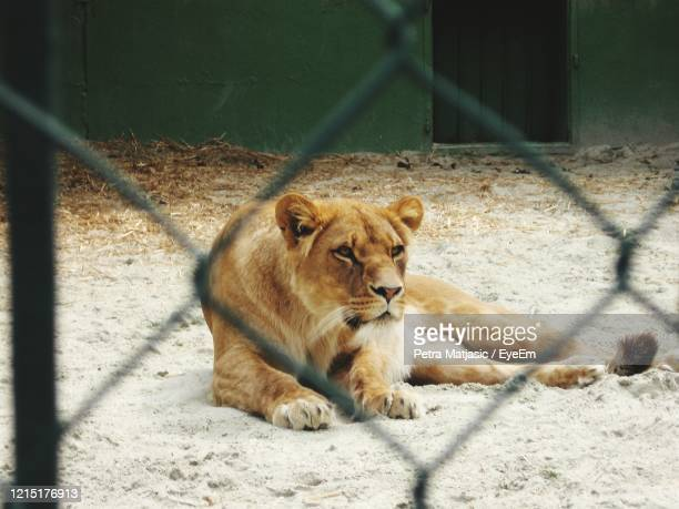 cat relaxing on floor, lion in cage - lion stock pictures, royalty-free photos & images