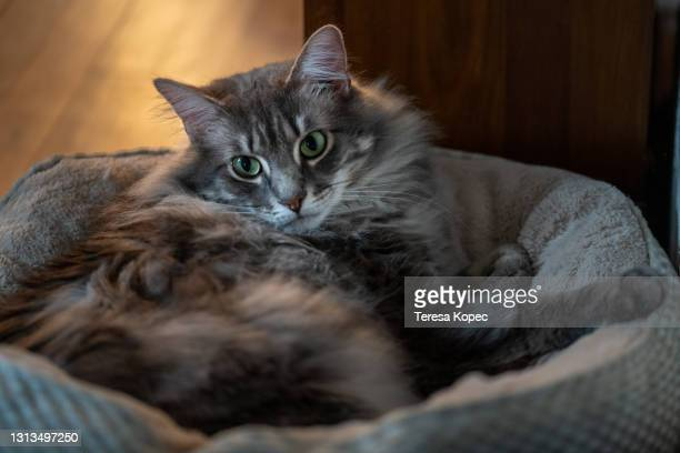 cat resting in cat bed - pet bed stock pictures, royalty-free photos & images