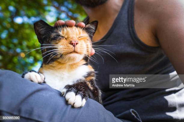 cat resting in man's lap - lanai stock photos and pictures